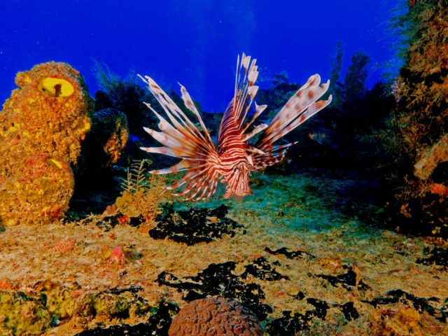 lionfish hunting sosua