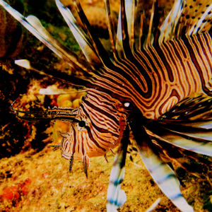 lionfish300
